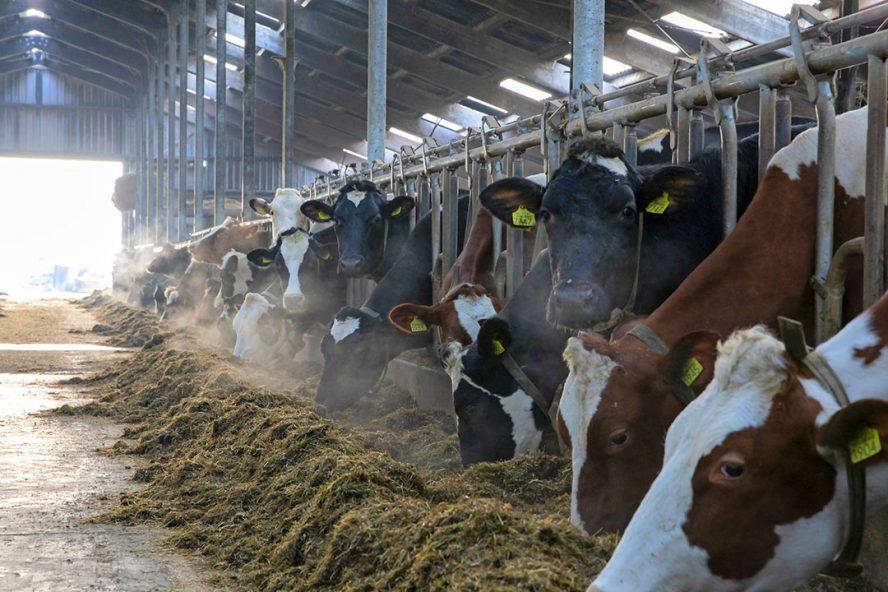 Vretende koeien aan het voerhek. Melkveehouders die nog geen KoeAlert hebben laten uitvoeren, riskeren een geschil met hun zuivelverwerker. - Foto: Anne van der Woude
