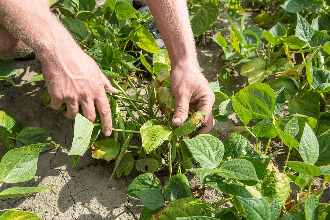 Van Iperen ontwikkelt een biostimulant die planten weerbaarder moet maken tegen drogote. - Foto: Peter Roek - Foto: Peter J.E.Roek  Pentalux Photography & Video  06-53639890