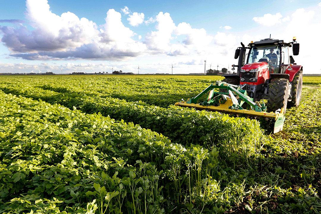 Resten van groenbemesters achterlaten en grondbewerking reduceren kunnen belangrijke maatregelen zijn om koolstof vast te leggen in de bodem. - Foto: Ton Kastermans -