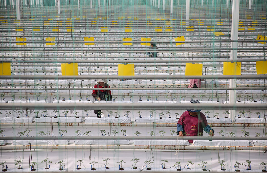 Tomatenbedrijf bij de Chinese stad Quindao. - Foto: ANP - Foto: Str