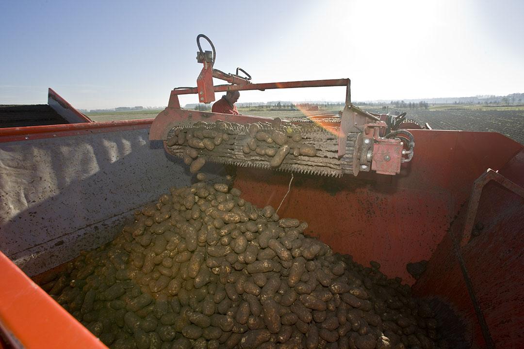 De oogst van aardappelen. De laatste loodjes zijn zorgelijk. - Foto: Koos Groenewold