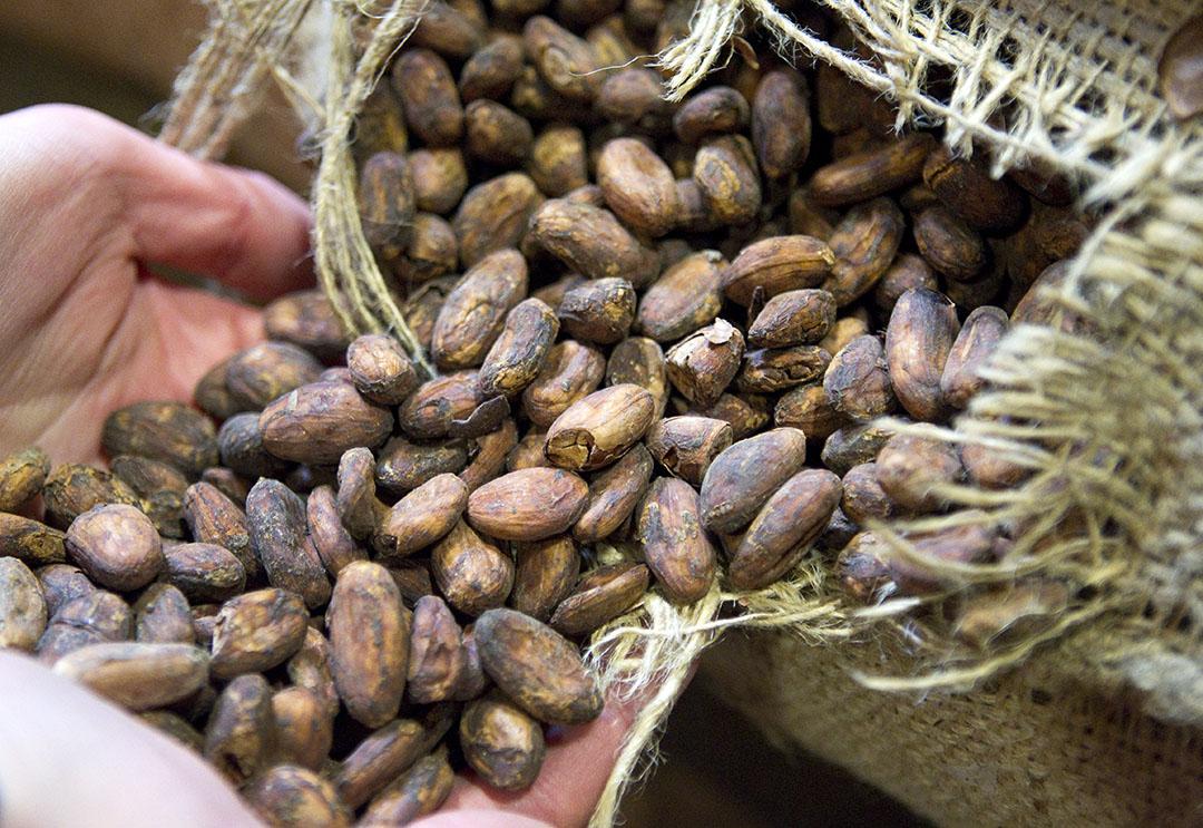 Cacaobonen opgeslagen in een loods. - Foto: ANP