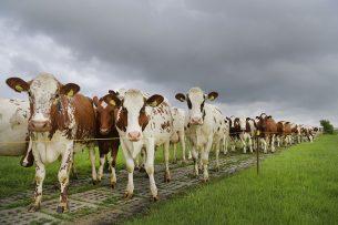 Fosfaatrechten voor melkvee zijn toegekend op basis van het aantal aanwezige en geregistreerde dieren op 2 juli 2015.