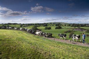 Melkvee in typisch Iers landschap. In 2019 bedroeg een derde van die Ierse export zuivelproducten en nog eens 30% vlees en levend vee. - Foto: Mark Pasveer