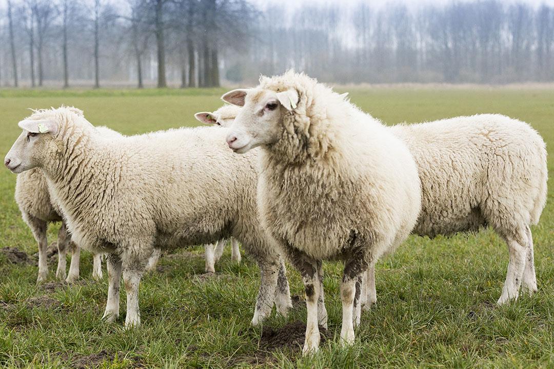 RVO.NL kreeg meer aanvragen dan dat er budget is voor graasdierpremies. - Foto: Bart Nijs