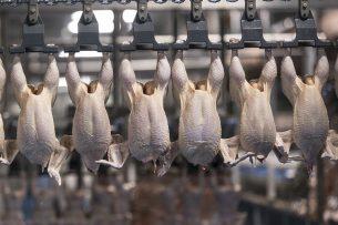 Slachtlijn voor vleeskuikens. Slachterijen moeten kiezen tussen twee kwaden: kip verkopen voor lage prijzen of invriezen. - Foto: Koos Groenewold