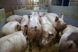 De export van Nederlandse slachtvarkens naar Duitsland ligt grotendeels stil. - Foto: Ronald Hissink