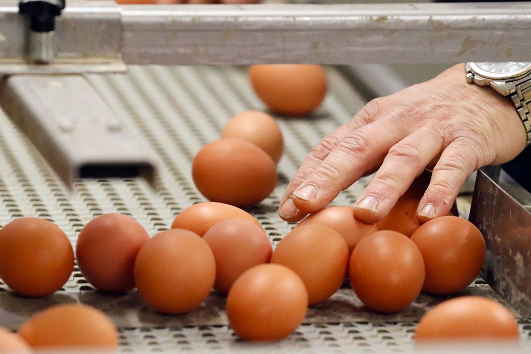 De productie van consumptie-eieren in Europa groeide vorig jaar. - Foto: Bert Jansen