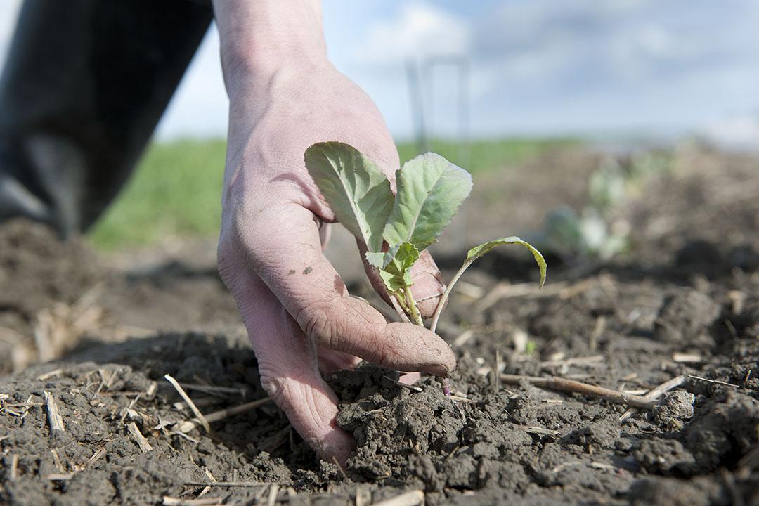 Biologische bloemkoolteelt. Het areaal landbouwgrond dat in Nederland gecertificeerd is voor biologische productie is in 2019 gegroeid naar iets meer dan 63.000 hectare. - Foto: Mark Pasveer