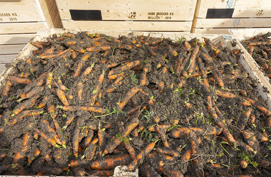Peen in kisten direct na het rooien. Foto: Ruud Ploeg
