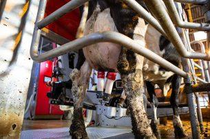 De verschillen tussen bio- en reguliere melk zijn vooral terug te voeren op het type voer dat de koeien krijgen. Foto: Peter Roek