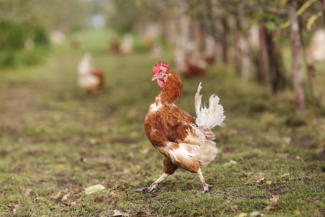 Wilde watervogels kunnen 's nachts in de uitloop zitten, en het virus overdragen aan kippen via uitwerpselen die zij daar achterlaten. - Foto: Ton Kastermans