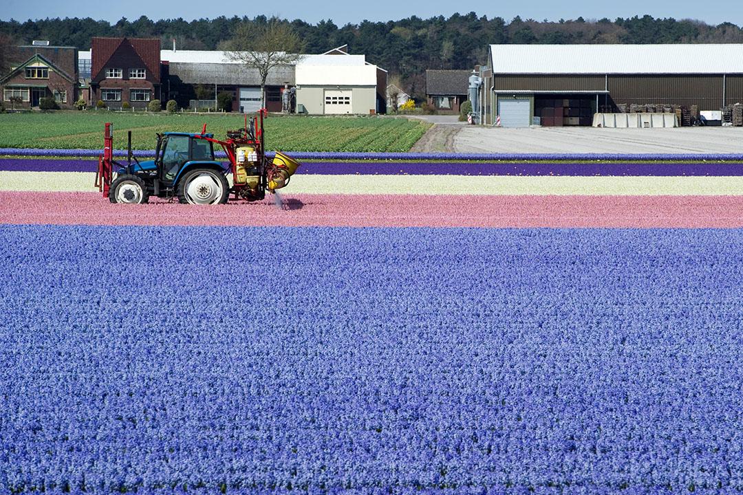 Hyacinten worden bestoven met een tractor in Noordwijkerhout. - Foto: ANP