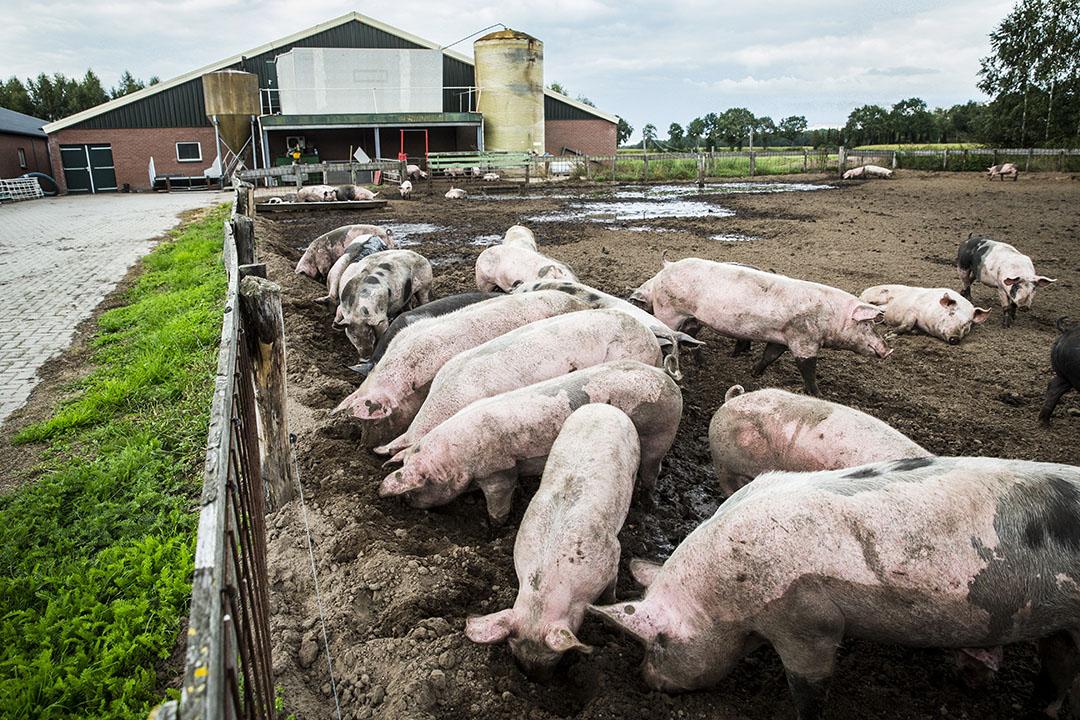 Bij de vijf omgevingsdiensten hadden sinds 2013 1.151 varkens- en pluimveehouders aangegeven voor 1 januari 2020 te stoppen met hun varkens- of pluimveetak. - Foto: ANP