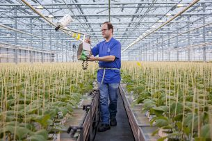 Een medewerker versprijdt roofmijten (natuurlijke vijanden) tussen aubergineplanten in opkweek. - Foto: Roel Dijkstra