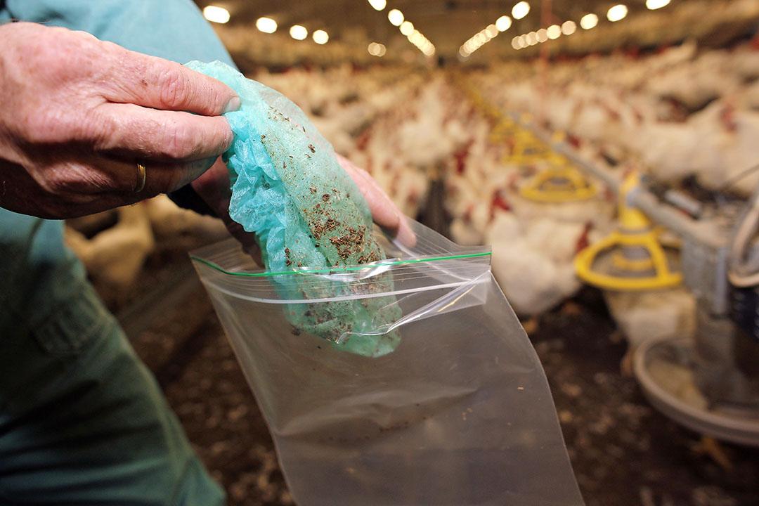 Monstername voor salmonella-onderzoek bij vleeskuikenouderdieren gebeurt meestal door de pluimveehouder zelf met behulp van de overschoentjesmethode. - Foto: Hans Prinsen