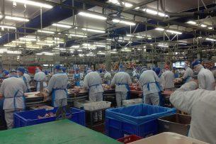 Personeel aan het werk in een varkensslachterij. - Foto: Martijn ter Horst