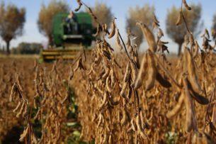 Oogsten van sojabonen. Het oogstmoment valt bij sojabonen in de vroege herfst, waarmee het oogstrisico toeneemt.- Foto: Hans Prinsen