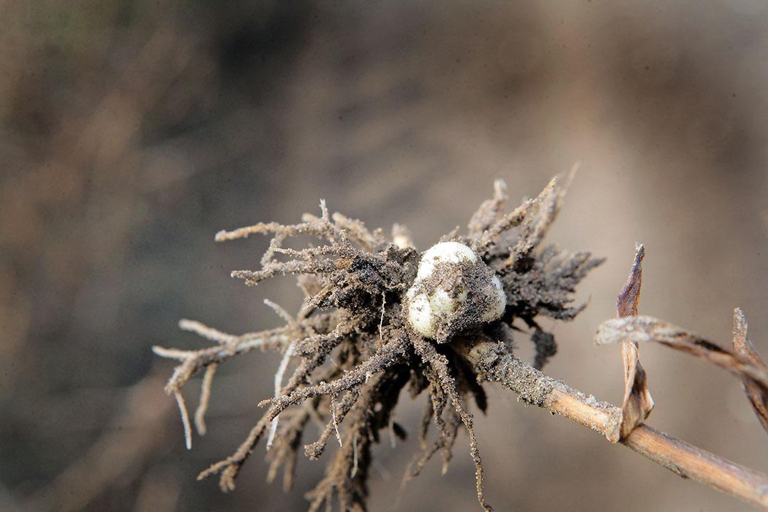 Een leliebol. De afzet staat onder druk door het coronavirus - Foto: Henk Riswick