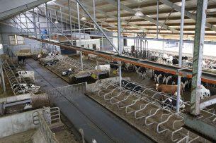 Emissiearme vloeren, zoals in deze melkveestal, zorgen juist voor meer stikstofverliezen, zegt onderzoeker Peter Vanhoof. - Foto: Henk Riswick