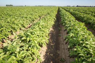 Aardappelveld (uit archief). Foto: Peter Roek