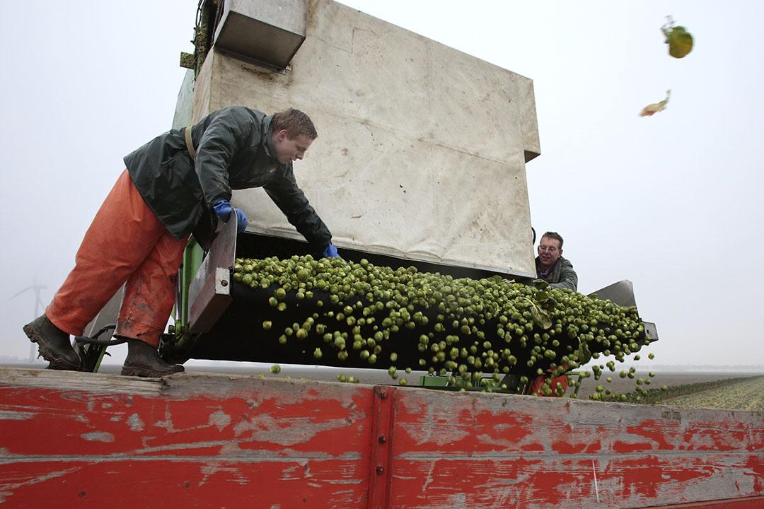 De opbrengsten waren in de reguliere teelt van spruiten flink, 4 à 5 ton boven die van de vorige oogst. - Foto: Ton Kastermans Fotografie