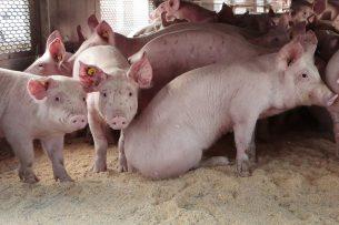Biggen voor export naar Spanje. - Foto: Ton Kastermans Fotografie