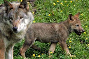 Getroffen boeren en een wolvendeskundige vermoeden dat een wolf toegeslagen heeft afgelopen weekend in Brabant. Foto: ANP