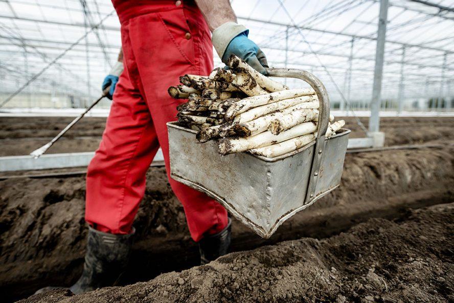 Medewerker van een aspergekweker aan het werk.  - Foto: ANP