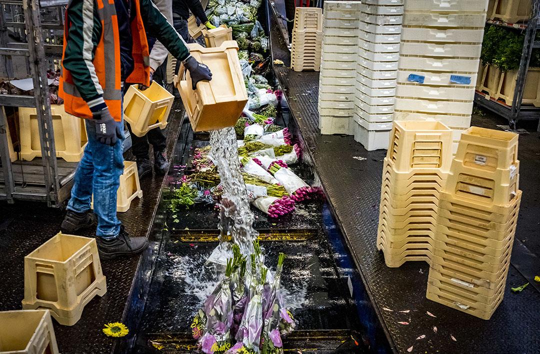 Bloemen worden doorgedraaid op de bloemenveiling.  - Foto: ANP