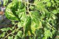 Archieffoto ToBRFV in tomatengewas. - Foto Heike Scholz-Döbelin