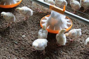 Het gebruik van antibiotica bij pluimvee is opnieuw gedaald.  - Foto: Hans Bijleveld