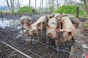 Varkens bij Herenboeren, burgers met een boerderij. - Foto: Van Assendelft Fotografie