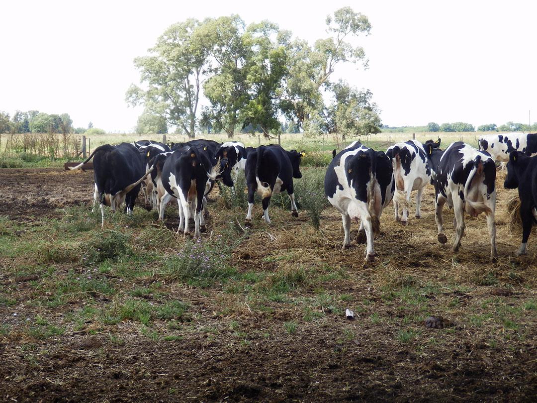 De koeien lopen het hele jaar buiten. Er is 240 hectare land bij het bedrijf.