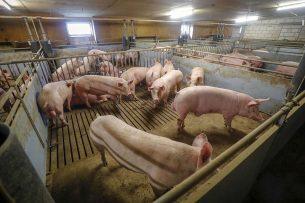 Van de 502 varkenshouders die zich vorig jaar inschreven, voldoen er volgens cijfers die de Coalitie van het ministerie van LNV heeft ontvangen 417 aan de voorwaarden van de regeling. - Foto: Bert Jansen