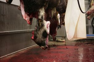 Archiefbeeld van runderslachterij. - Foto: Michel Zoeter