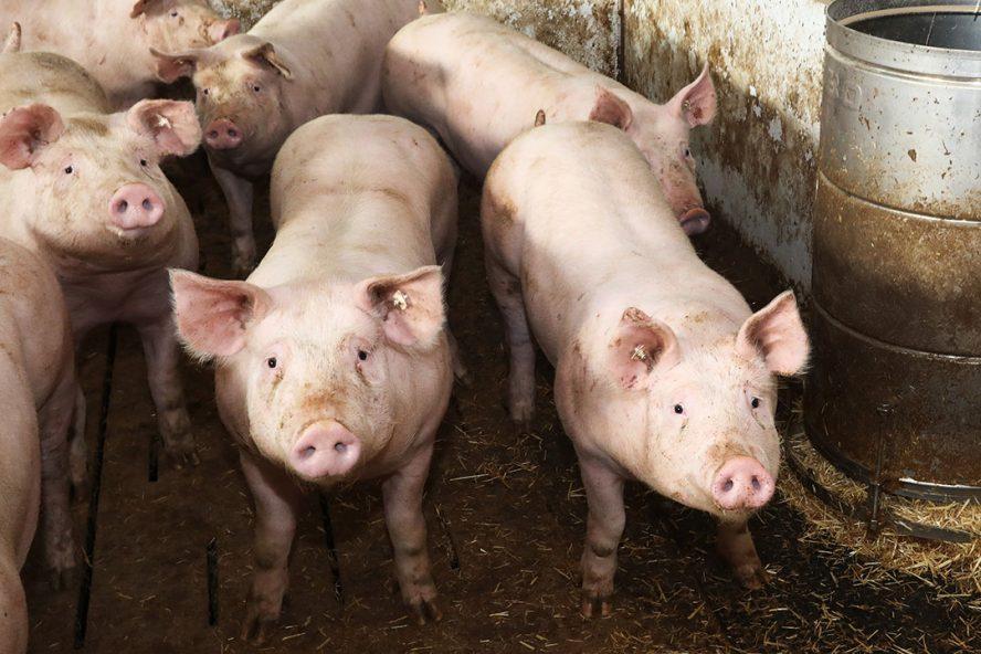 Doel van het innovatieve idee is de vergroting van het dierenwelzijn door met behulp van een aangename geur de stress bij de dieren, op het ogenblik primair nog varkens en pluimvee, te verminderen. Foto: Henk Riswick