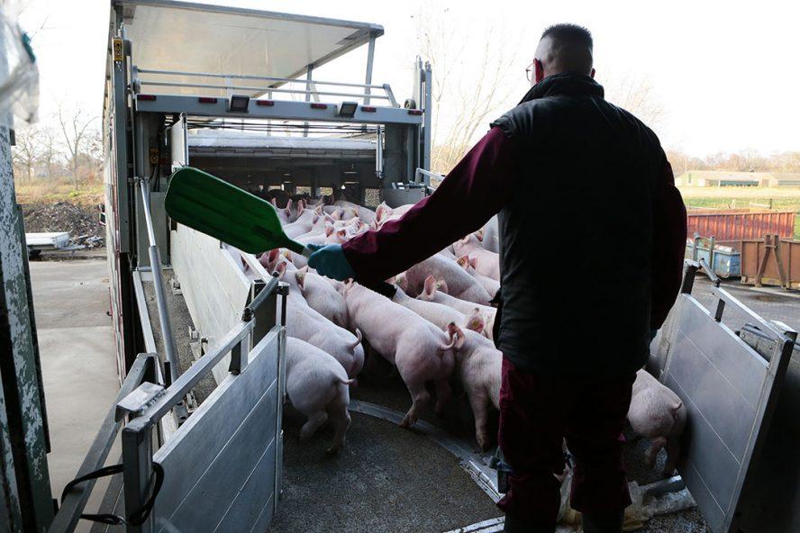 Biggen laden voor export naar Spanje. - Foto: Ton Kastermans Fotografie