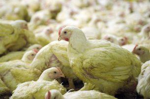 Vleeskuikenhouders moeten vooruitdenken, vindt Jan Brok. - Foto: ANP