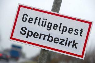 Een week geleden was de eerste uitbraak met het virus bij commercieel pluimvee in Duitsland. - Foto: EPA