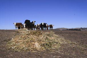 Veel Australische melkveehouders krabbelen na een moeilijke periode net weer op. Foto: ANP
