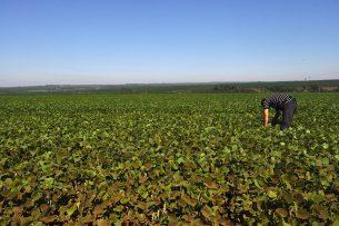 Ondanks de prijsdaling van soja op de wereldmarkt blijft de prijs op de nationale markt stabiel door de stijging van de waarde van de dollar. Foto: ANP