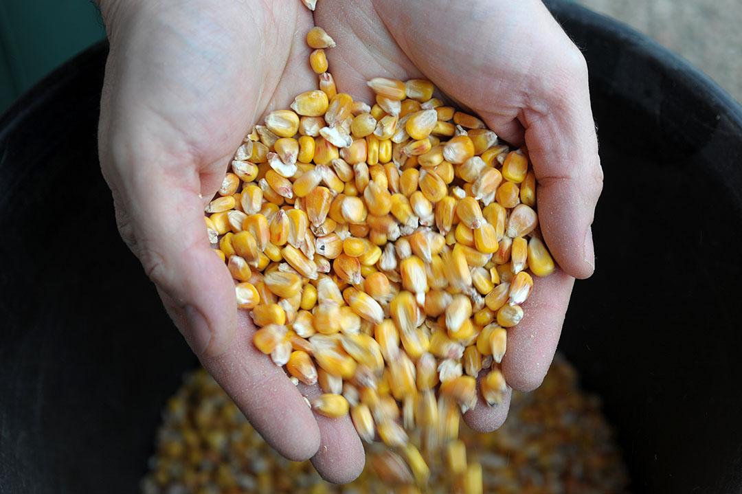 De notering voor het eerst aflopende maiscontract op de termijnmarkt in Chicago daalde op de laatste handelsdag van maart dan ook naar $340,75 per ton. - Foto: AFP