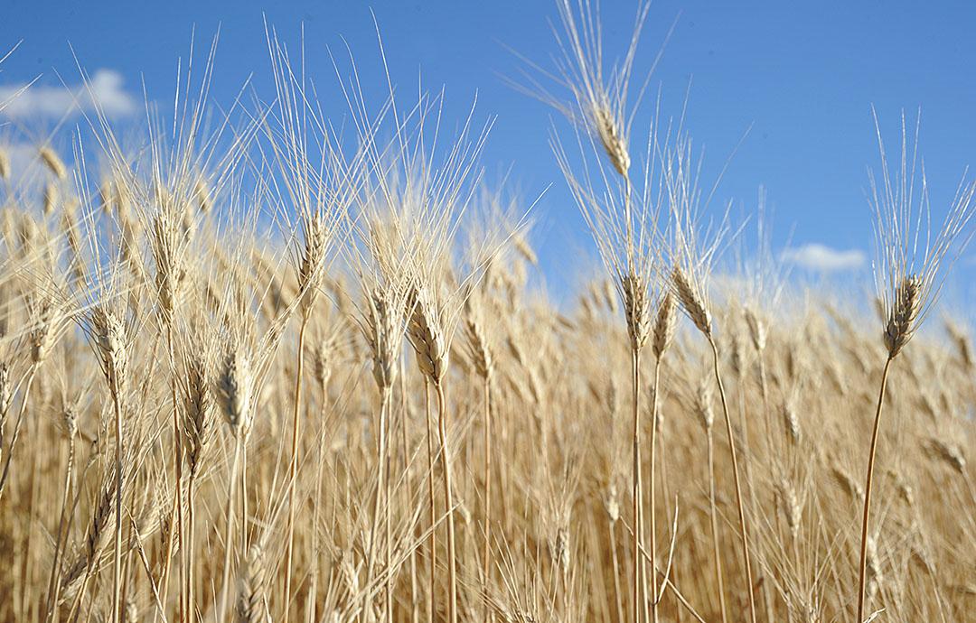 Graanveld in VS. Foto: ANP