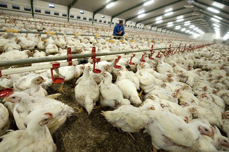 Vleeskuikenstal in Denemarken. Foto: ANP