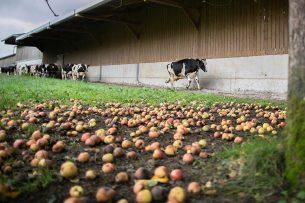 Melkveebedrijf in Frankrijk. - Foto: ANP