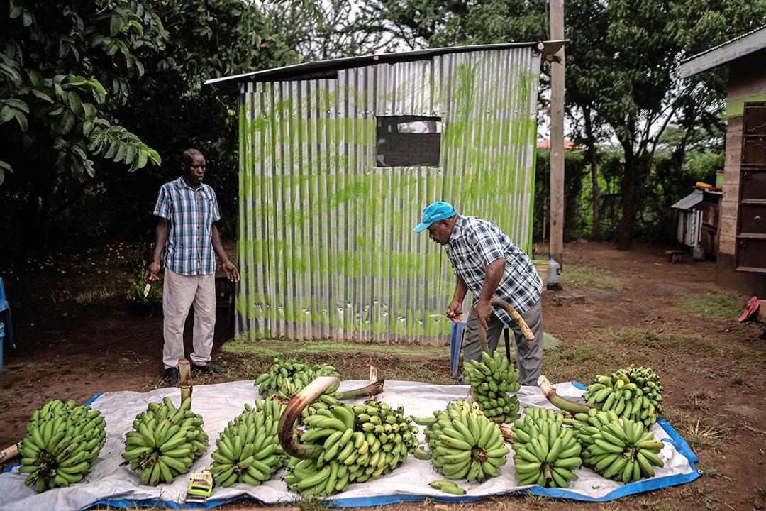 Mannen in Kenia selecteren bananen na de oogst. Alleen al in Kenia is de import van pesticiden de laatste vijftien jaar verviervoudigd, zegt Nicole van Gemert. - Foto: ANP