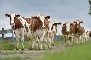 Koeien beweiden blijft vergunningsvrij. - Foto: Cor Salverius Fotografie