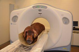 Varken in de scanner bij Topigs Norsvin. - Foto: Topigs Norsvin
