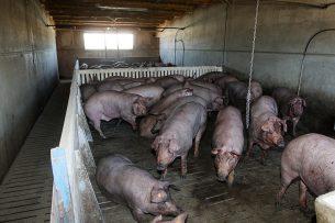 Varkensbedrijf in Spanje. Foto: ANP